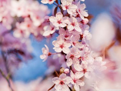 cherry_blossom_3-wallpaper-1920x1200